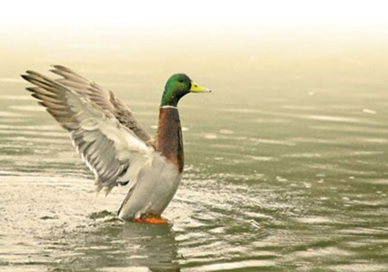 ND05-Duck